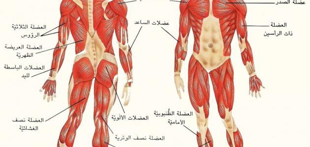 أنواع العضلات - الخيط